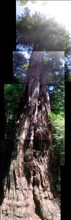 Composite portrait of a redwood