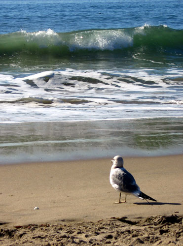 Gull and surf