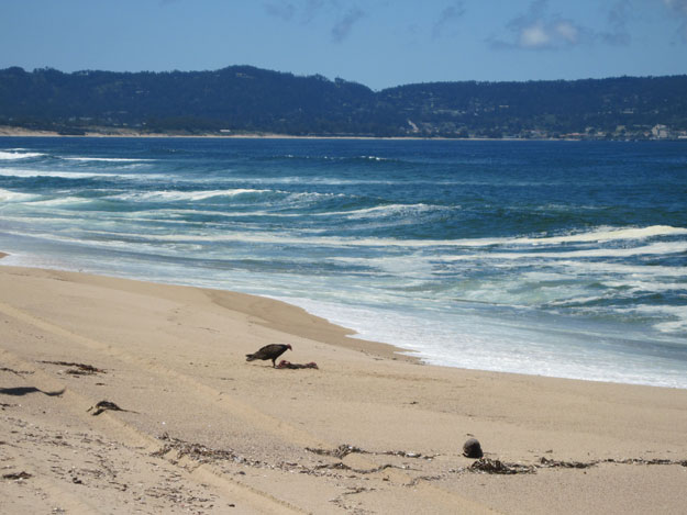 Turkey vulture with carcass on the beach