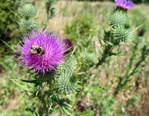Bee and thistle at Wilder Ranch State Park