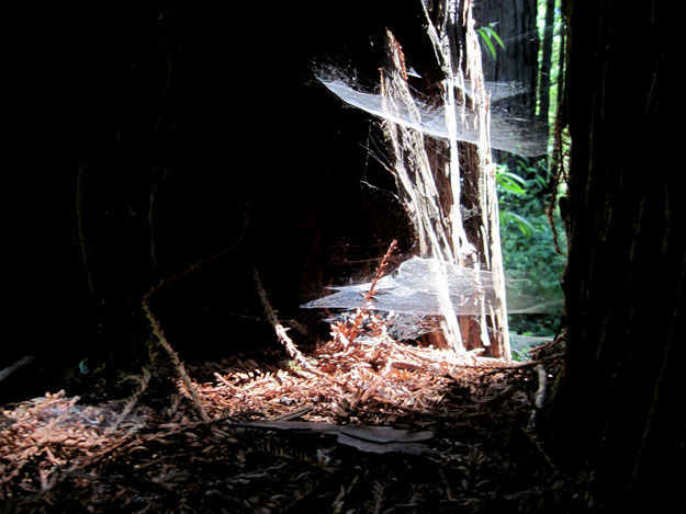 Spiderwebs and redwood trunks