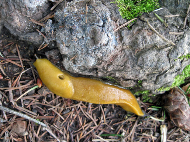 Banana slug