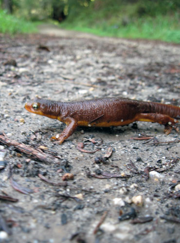 Newt in a hurry