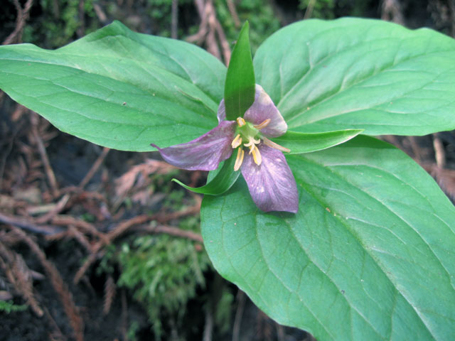 Purple trillium