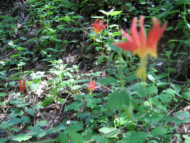 Columbine along the trail.