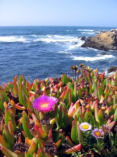Ice plant in bloom at Fort Bragg